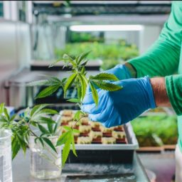Champlain Valley Dispensary championing change - cannabis plant