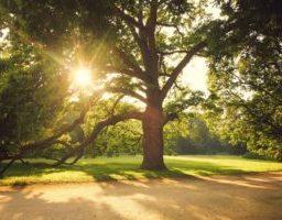 old big tree at sunrise
