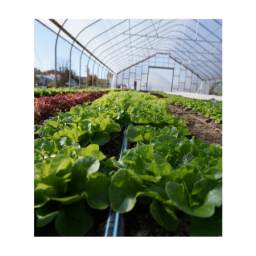 Intervale supports food access during COVID- Greenhouse growing lettuce